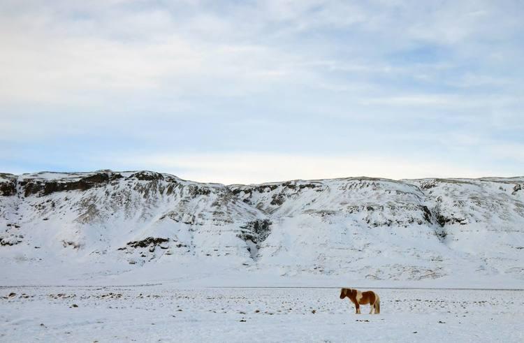 Icelandic Horse, Justin Mayo